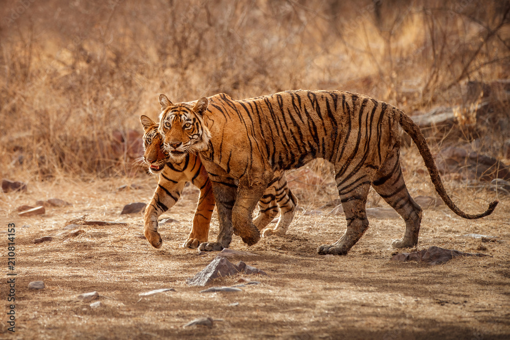 Tigress and cute cub in amazing nature habitat. Tigers in the golden light. Wildlife scene with danger animals. Hot summer in India. Dry area with beautiful indian tiger, Panthera tigris tigris