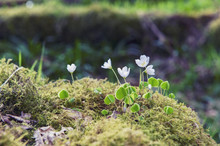 Closeup Of Blossom White Wild Flowers Growing On Clumps Of Green Moss With Blur Background