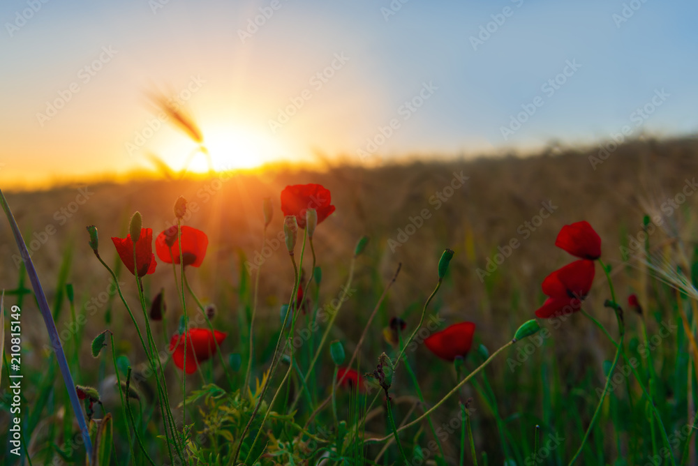 Red poppies in the field at dawn, selective focus