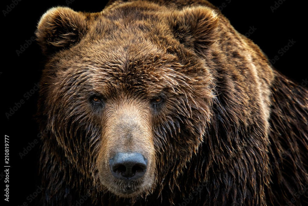 Fototapety, obrazy: Front view of brown bear isolated on black background. Portrait of Kamchatka bear (Ursus arctos beringianus)