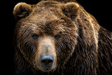 Fototapeta Zwierzęta - Front view of brown bear isolated on black background. Portrait of Kamchatka bear (Ursus arctos beringianus)
