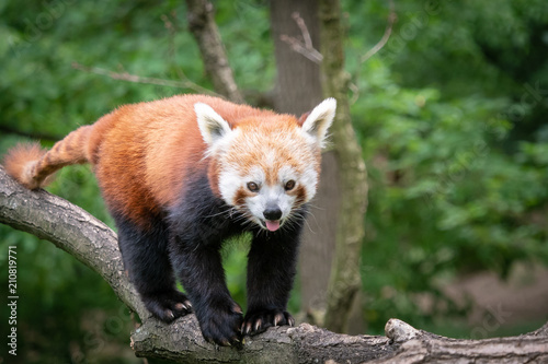 Foto op Plexiglas Panda Red panda (Ailurus fulgens) on the tree. Cute panda bear in forest habitat.