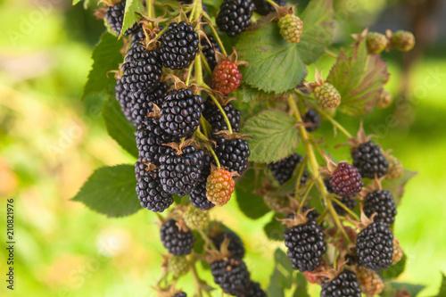 Blackberry on a branch in garden.