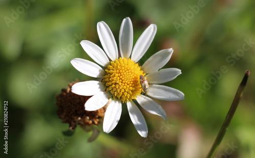 Insecte Sur Fleur Marguerite Macro Sur Fond Vert Buy This Stock