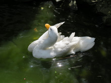 White Duck Bathing On Pond. Cl...