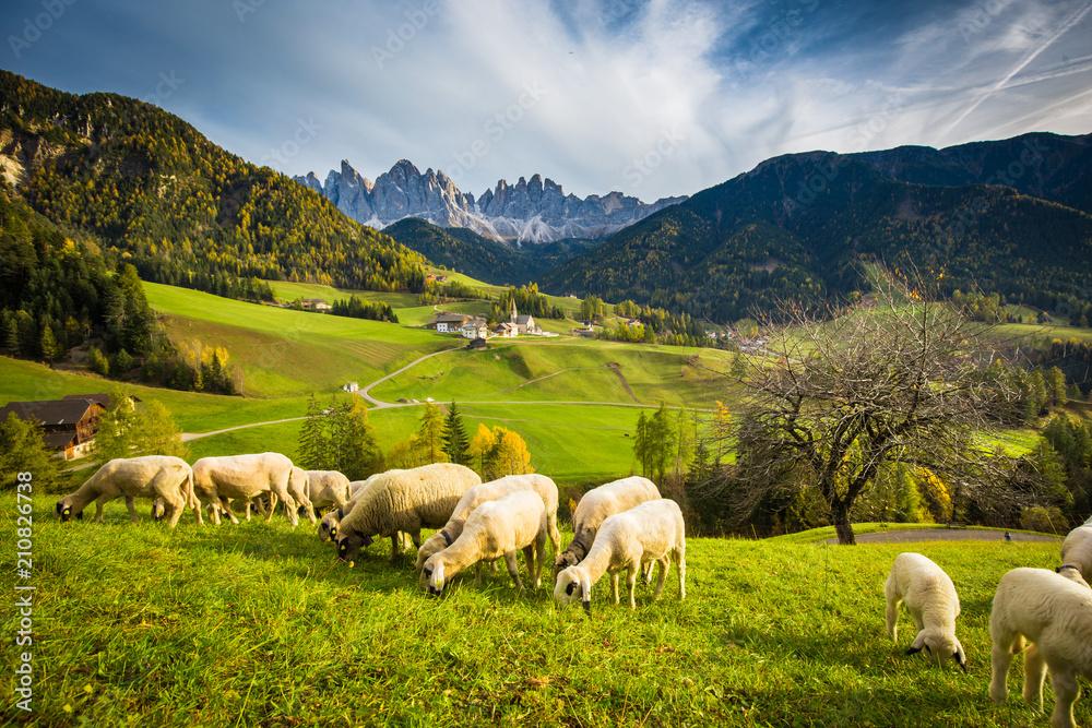 Fototapeta Dolomites mountain scenery with grazing sheep, Val di Funes, South Tyrol. Italy