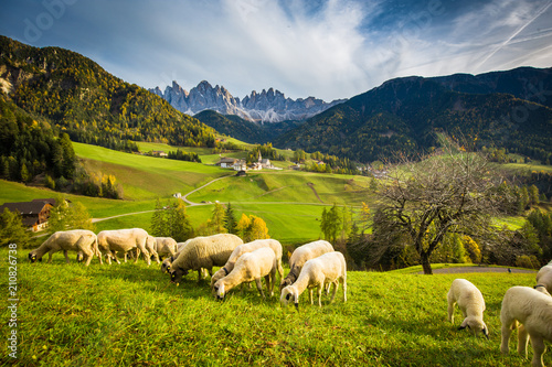 Spoed Fotobehang Schapen Dolomites mountain scenery with grazing sheep, Val di Funes, South Tyrol. Italy