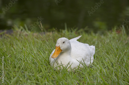 White duck sits on the green grass next to a pond or lake Poster