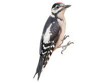 Young Great Spotted Woodpecker (Dendrocopos Major), Isolated On White Background