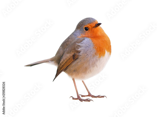 Spoed Foto op Canvas Vogel Robin (Erithacus rubecula) isolated on white background