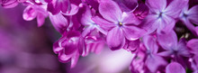 Springtime Bunches Of Lilac Bl...