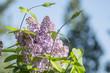 Lilac beautiful flowers