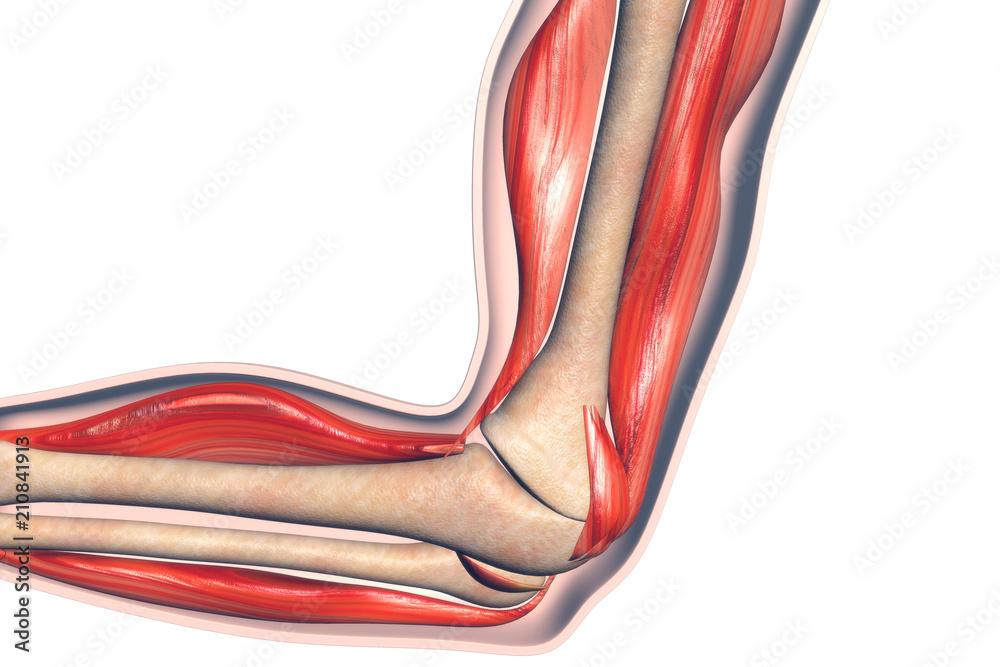 Anatomy Of Human Elbow Foto Poster Wandbilder Bei Europosters