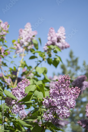 Foto op Canvas Lilac Lilac beautiful flowers