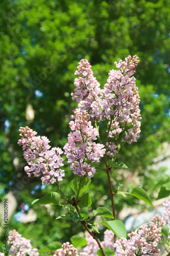 Staande foto Lilac lilac flowers on a sky background landscape