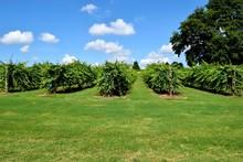 Winery Vineyard Landscape At North Georgia, USA