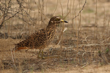 The Spotted Thick-knee (Burhinus Capensis) Also Known As The Spotted Dikkop Or Cape Thick-knee Is Sitting On The Ground In The Savanna