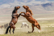 Wild Horse Stallions Fighting
