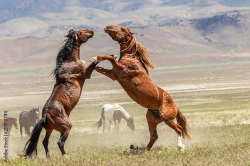 Fototapeta Wild horse Stallions Fighting obraz