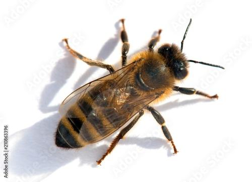 Photo bee or honeybee in Latin Apis Mellifera