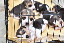 Cute Little Beagles For Sell In Dog Cage