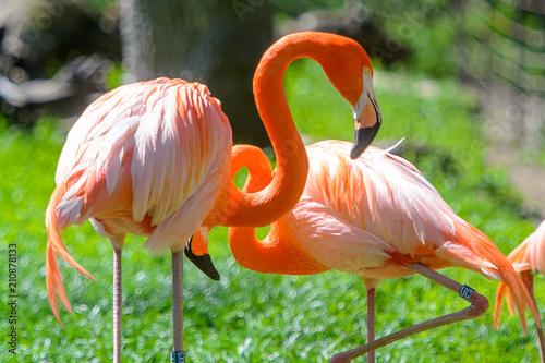 Poster Flamingo Flamingo in the zoo
