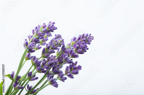 Lavender flowers on a white background Wallpaper Mural