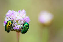 Two Bright, Colorful Beetles O...