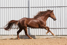 Chestnut Horse Running In Paddock On The Sand Background