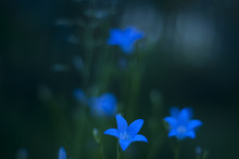 Twilight Blurred Gentle Evening Floral Background With Blue Bellflowers