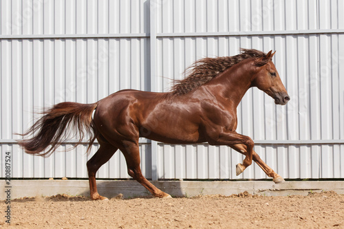 Obraz na plátne Chestnut horse running in paddock on the sand background
