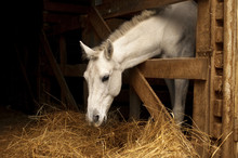 White Horse Eating Hay (straw,...