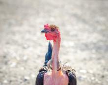 Naked Neck Chicken On A Sunny ...