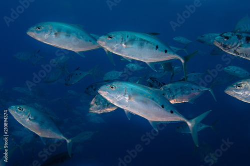 A school of Yellow-dotted trevally fish (Carangoides fulvoguttatus) swimming by. Large silver bodied fish with dark spots on it's side.