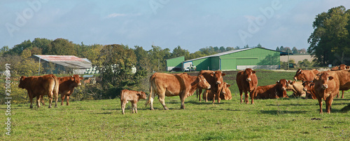 Vaches limousines au champ Canvas-taulu