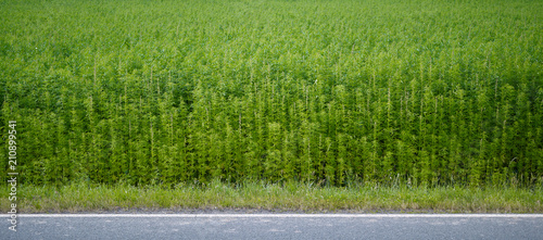 Fototapeta Plants: Industrial hemp field at the edge of an asphalted country road in Eastern Thuringia obraz