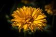 żółty kwiat ogrodowy