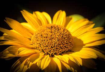 Obraz żółty kwiat ogrodowy