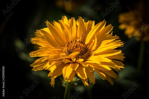 żółty kwiat ogrodowy - fototapety na wymiar