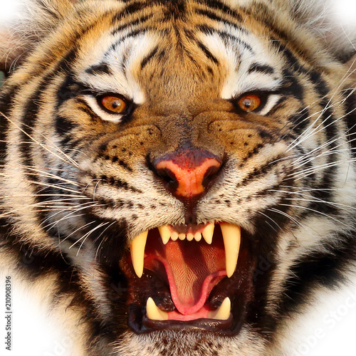 Foto op Aluminium Tijger Close up Tiger face, isolated on white background.