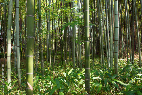Foto op Plexiglas Bamboe Bamboo grass stalk plants stems growing in dense forest as a peaceful green background