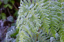 Frozen And Icy Fern Leaves On A Frosty Winter Morning