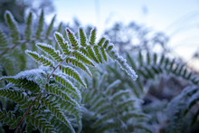 A Frosty Winter Early Morning With Frozen Fern Leaves Up Close