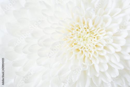 菊の花  Fototapete