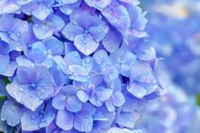雨上がりの紫陽花 Hyd...