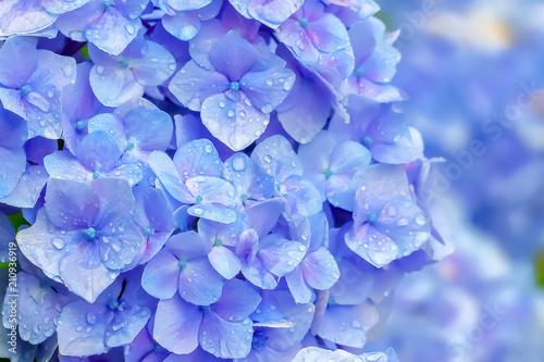 Obraz 雨上がりの紫陽花 Hydrangea - fototapety do salonu