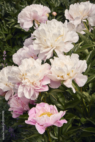 Pink and white peony flowers in a garden on a summer day