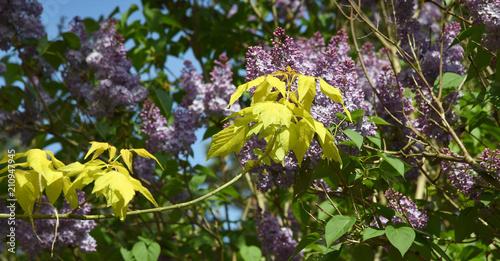 Zweig mit leuchtend gelben Ahornblättern vor lila Flieder