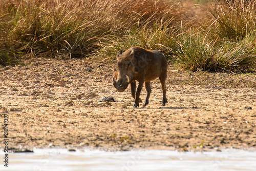Photo  Wild boar in the Djoudj National Bird Sanctuary, Senegal