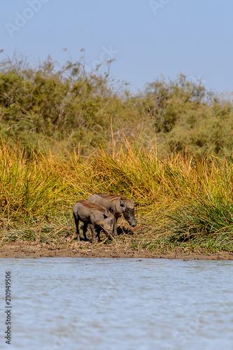 Photo  Wild boars in the Djoudj National Bird Sanctuary, Senegal